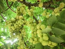 Gooseberry on the tree royalty free stock photography