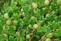 Gooseberry tree Stock Photography