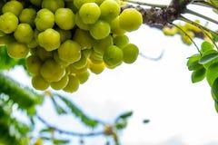 Gooseberry tree or Phyllanthus acidus L. Skeels. stock photography