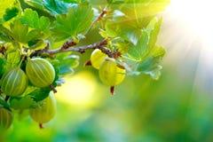 gooseberry Uva spina organiche fresche e mature fotografie stock libere da diritti