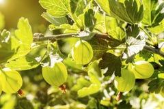 gooseberry Uva spina organiche fresche e mature che crescono nel giardino fotografie stock