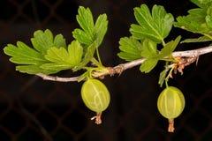 gooseberry Uva spina verde fotografia stock libera da diritti