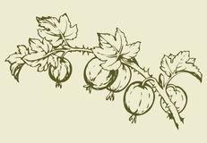 Gooseberry. Vector drawing Stock Photo