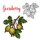 Gooseberry vector sketch fruit berry icon. Gooseberry berry color sketch icon. Vector botanical design of gooseberry fruits bunch with leaf for juice or jam royalty free illustration
