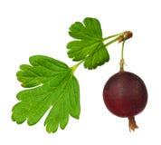 Gooseberry vermelho fotografia de stock