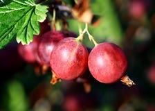 Gooseberry vermelho fotos de stock royalty free