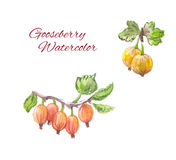 Gooseberry watercolor Stock Image