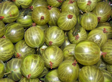 Gooseberry 'Whitesmith' Stock Photo