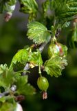 Gooseberry young on branch Royalty Free Stock Images