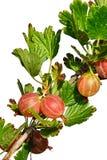 Goosebery liście na goosebery Ribes Uva-Crispa roślinie na białym tle i owoc Zdjęcie Stock