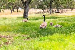Goosee på frodigt grönt gräs arkivbild