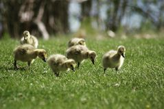 Gooselings fotografia de stock royalty free