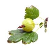 Goosenberry. Isolated on white background Royalty Free Stock Image