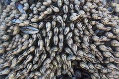 Gooseneck Barnacles (Pollicipes polymerus) Royalty Free Stock Photography