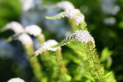Gooseneck flower Royalty Free Stock Images