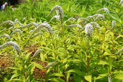 Gooseneck - Loosestrife - Lysimachia Stock Photos