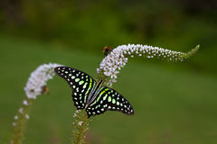 Gooseneck Loosestrife Stock Images