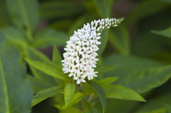 Gooseneck Loosestrife. White Gooseneck Loosestrife flower and foliage Stock Image