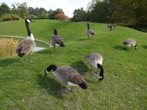 Gooses步行 免版税库存照片