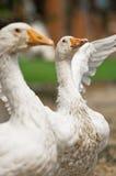 gooses белые Стоковые Фото