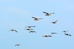 Gooses Брента кулиги в небе Стоковое Фото