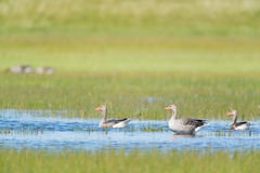Gooses в воде Стоковая Фотография