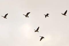 Gooses летания Стоковые Изображения