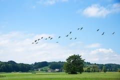 Gooses летания над святилищем птиц Стоковое Изображение