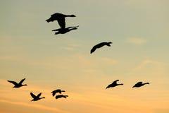 Gooses летания Стоковая Фотография RF