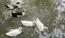 Gooses на бассейне Стоковое Фото