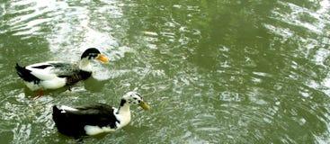 Gooses на бассейне Стоковые Изображения RF