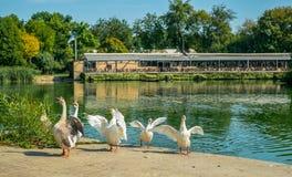 Gooses на береге озера после ванны Стоковое Изображение