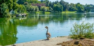 Gooses на береге озера после ванны Стоковые Фотографии RF