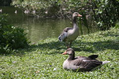 Gooses на озере Стоковое Фото