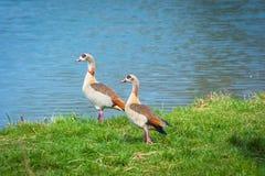 2 gooses Нила в профиле Стоковые Фото