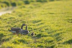 Gooses с гусятами Стоковая Фотография