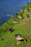 Gooses Royalty Free Stock Photos