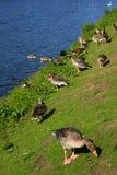 Gooses Royalty-vrije Stock Foto's