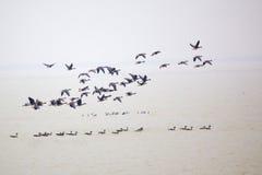 Gooses Stock Afbeelding