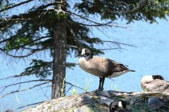 Gooses. Goose standing on a rock in nature Royalty Free Stock Photos