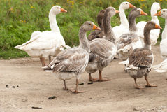 Gooses Stock Photography