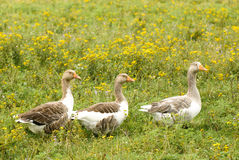 Gooses Stock Photos
