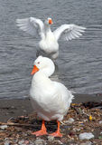 Gooses Royalty Free Stock Photography