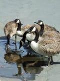 Gooses Immagini Stock