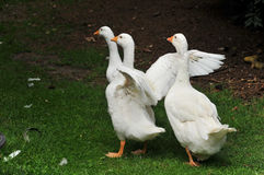 Gooses Stock Photos