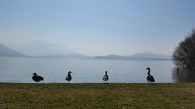 gooses Foto de Stock Royalty Free
