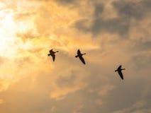 gooses Стоковое фото RF