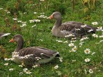 Gooses Images libres de droits