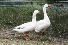 Gooses Stock Images