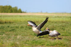 Gooses Royalty Free Stock Images